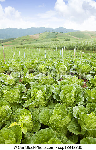 cabbage on an agriculture field - csp12942730