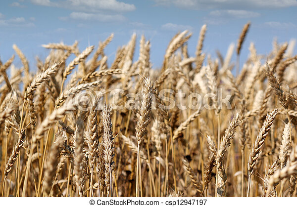 agriculture golden wheat and blue sky - csp12947197