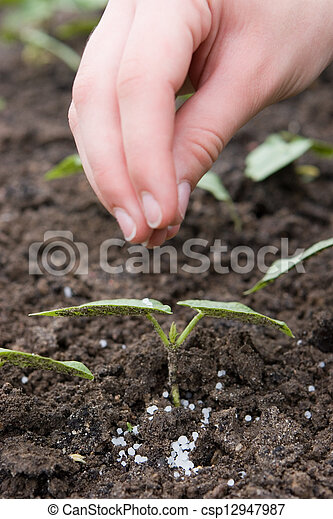 Fertilizing with granulated fertilizers the young seedling - csp12947987