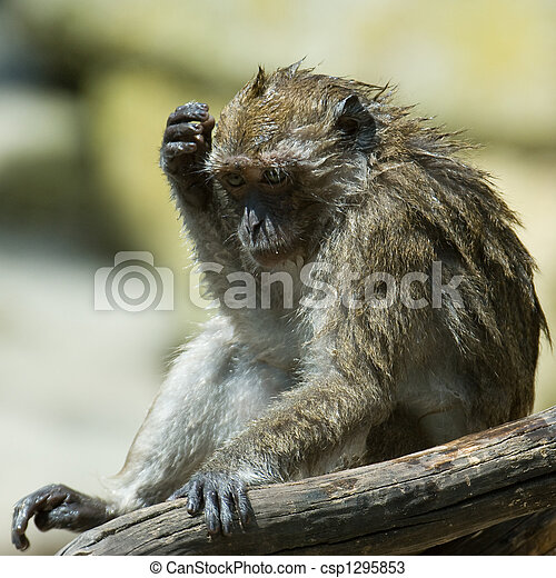 Stock Photos of monkey - Wet monkey scratching his head while ...