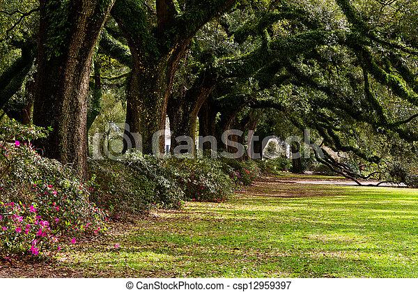 Line of ancient oak trees - csp12959397