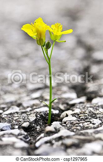 Flower growing from crack in asphalt - csp1297965