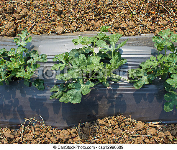 new growth of vegetable pocking out of the plastic cover  - csp12990689