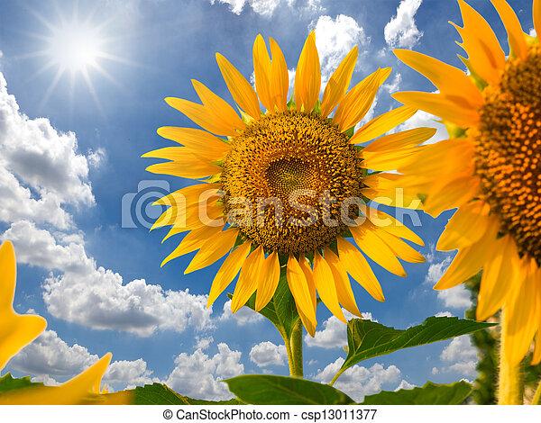 Sunflower field against blue sky and sun light - csp13011377