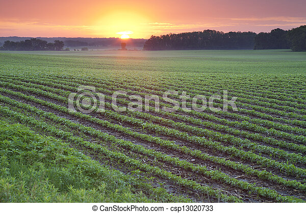 Soybean field at sunrise - csp13020733