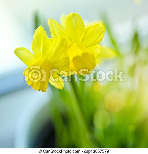 Spring Daffodils - csp13057579