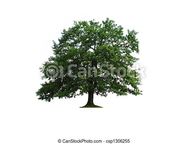 Oak tree isolated - csp1306255