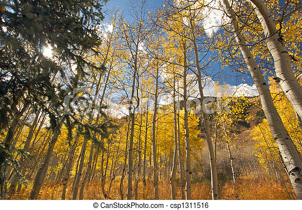 Colorful Aspen Pines - csp1311516