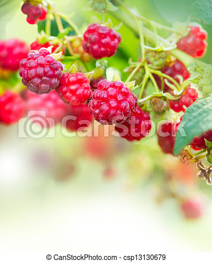 Raspberry. Growing Organic Berries Art Design - csp13130679