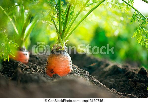 Organic Carrots. Carrot Growing Closeup - csp13130745