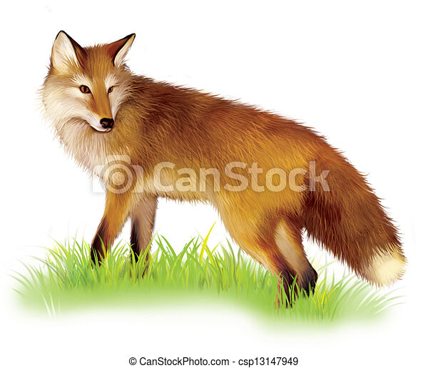 Adult shaggy red Fox standing in the grass. - csp13147949