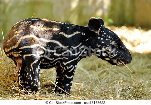 tapir bebe