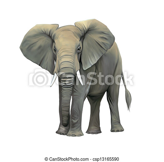 An elephant cow standing isolated, Big adult Asian elephant. Front view with big ears - csp13165590