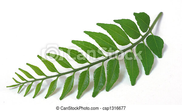 Green Tender Curry Leaves - csp1316677