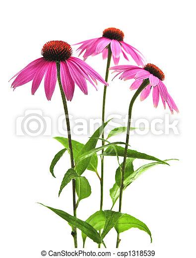 Echinacea purpurea plant - csp1318539