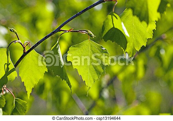 Photo de bouleau feuilles les vert feuilles de a - Feuille de bouleau photo ...