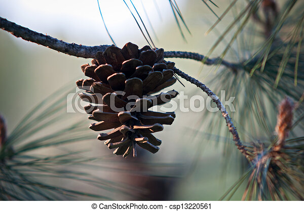 Pine Cone And Branches .