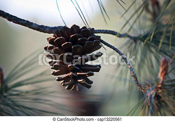 Pine Cone .