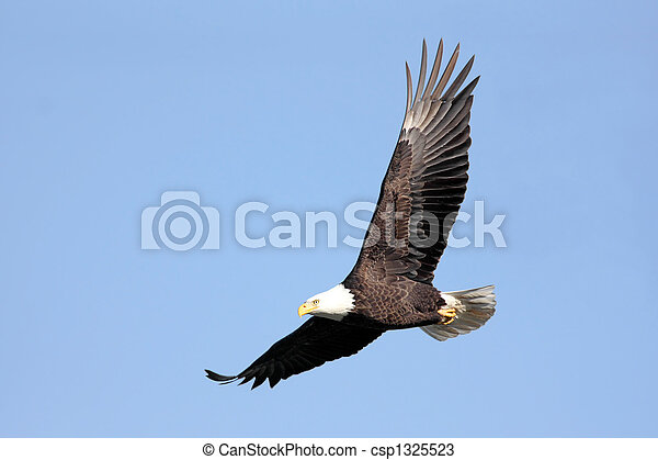 Bald Eagle In Flight - csp1325523