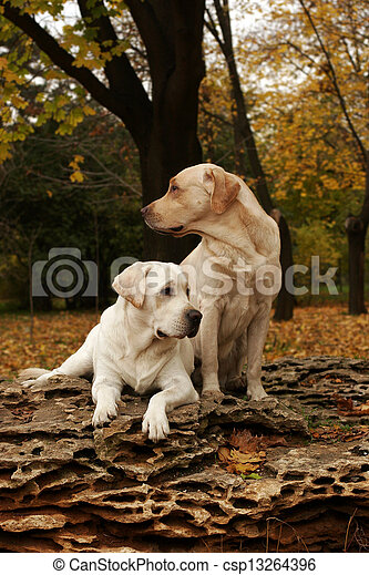 two yellow labradors in the park in autumn - csp13264396