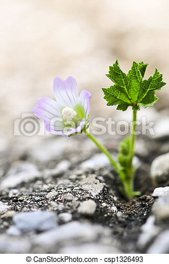 Flower growing from crack in asphalt - csp1326493