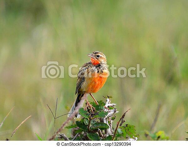 Savanna bird - csp13290394