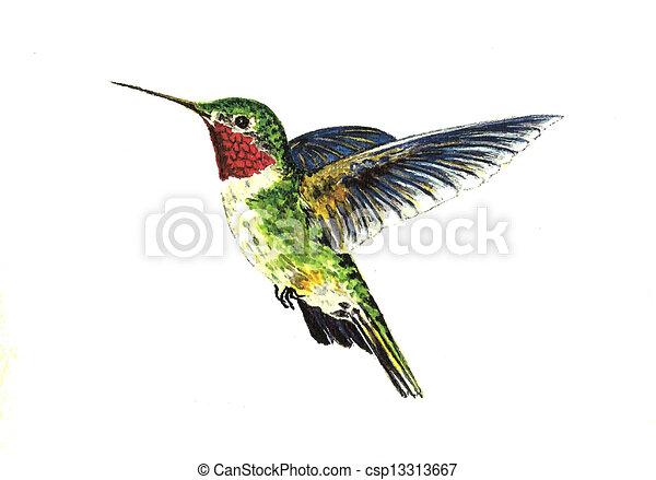 Broad Tailed Hummingbird - csp13313667