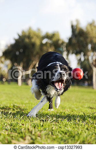 Border Collie Fetching Dog Ball Toy at Park - csp13327993