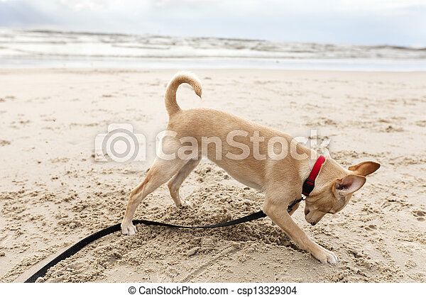 Puppy Digging at the Beach - csp13329304
