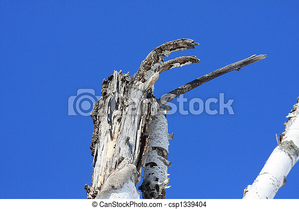 Birch Tree Deadhead - csp1339404