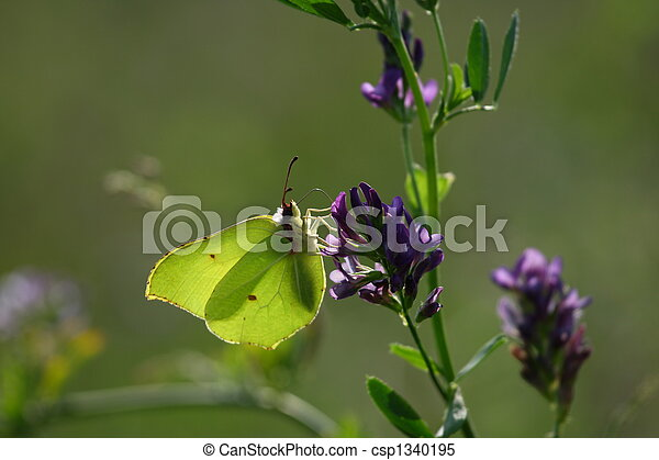 The Brimstone butterfly - csp1340195