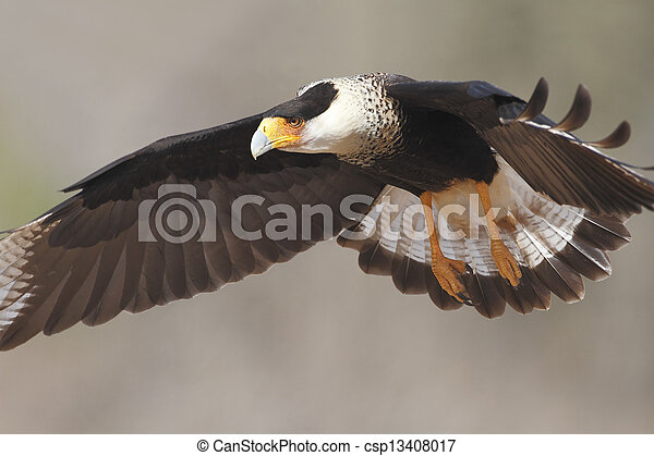 Adult Crested Caracara in Flight - Texas - csp13408017