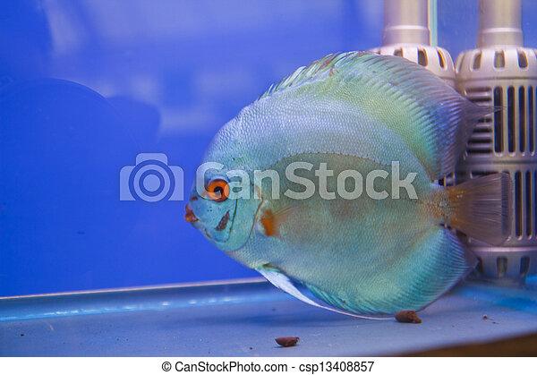 Discus fish - csp13408857