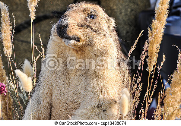 Marmot - mammal, representative of rodents - csp13438674