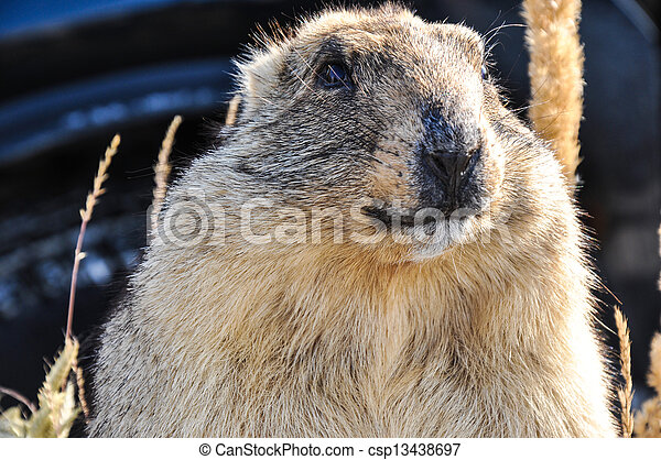 Marmot - mammal, representative of rodents - csp13438697