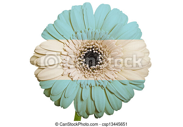 gerbera daisy flower in colors national flag of argentina on white background as concept and symbol of love, beauty, innocence, and positive emotions - csp13445651