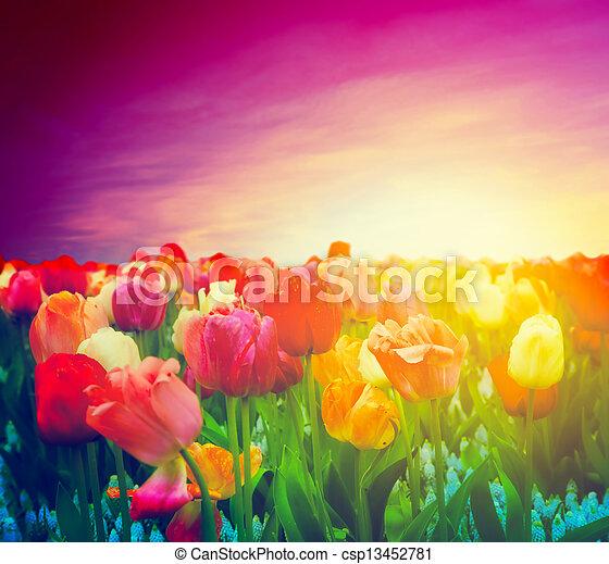 Tulip flowers field, sunset sky. Artistic mood - csp13452781