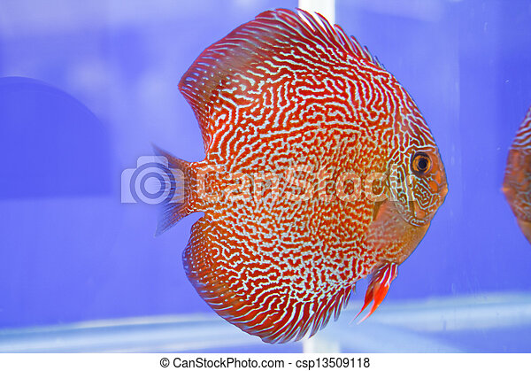 Discus fish - csp13509118