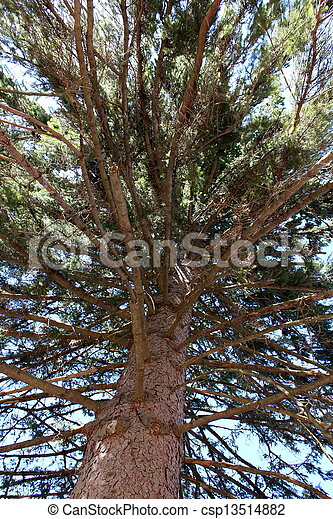Big branches of tall pine tree - csp13514882