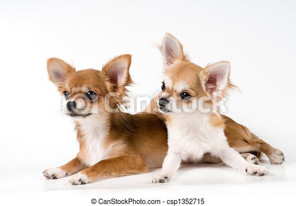 spitz, tiere, junger Hund,  D,  Chihuahua - csp1352715