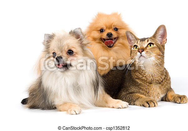 Two spitz-dogs and cat in studio  - csp1352812