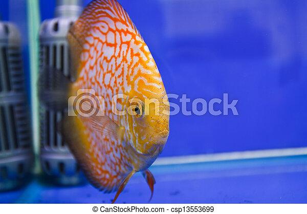Discus fish - csp13553699