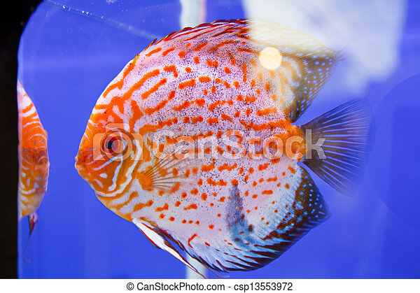 Discus fish - csp13553972