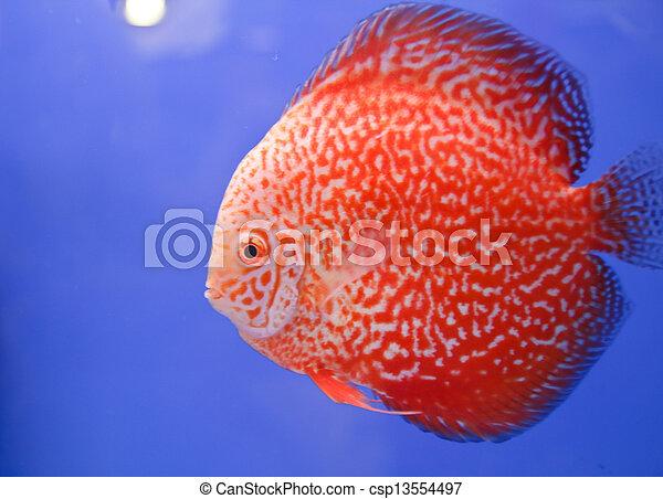 Discus fish - csp13554497
