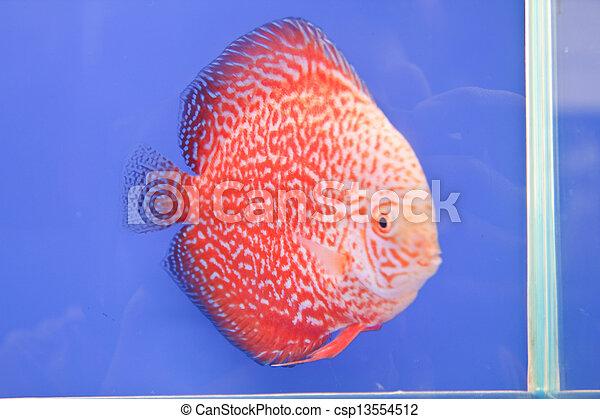 Discus fish - csp13554512