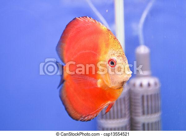 Discus fish - csp13554521