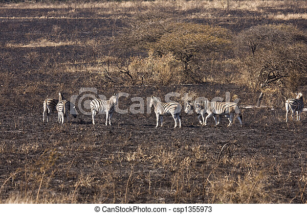 Dazzle Of Zebra On Burnt Savanna - csp1355973