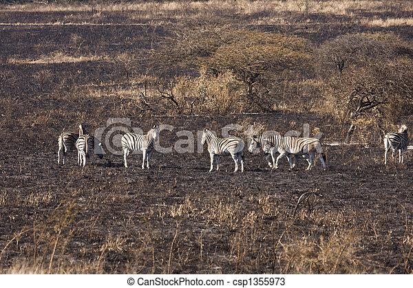 Dazzle Of Zebra On Burnt Savanna - csp1355973