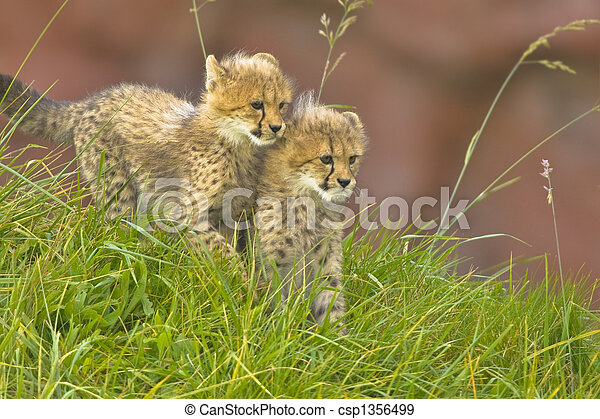 Cheetah cubs side by side
