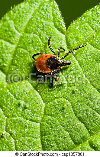 Tick on leaf. Ixodes ricinus. - csp1357801